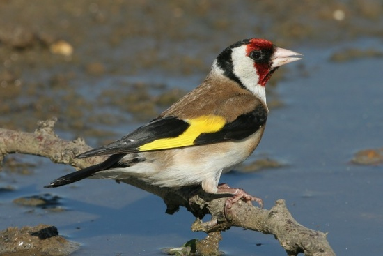 Goldfinch Symbol For Resurrection Animals Matter To God